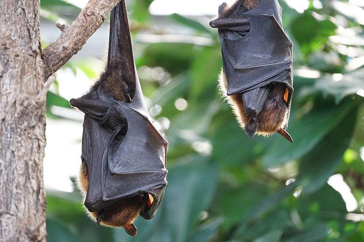 flying-foxes-2237209__480