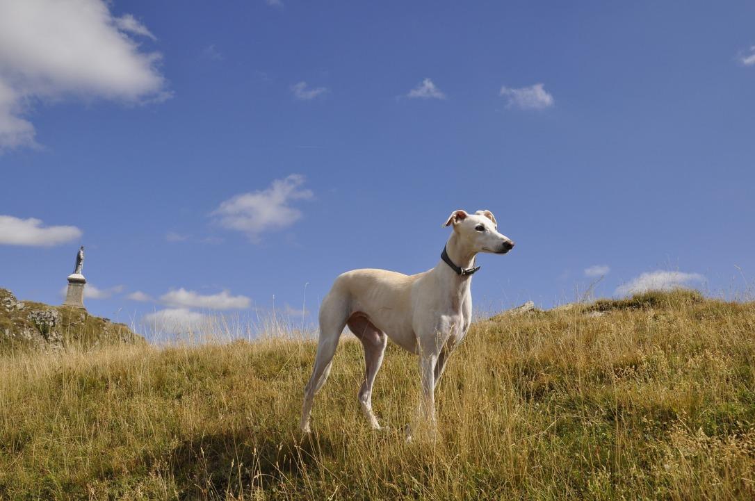 greyhound-2993433_1920