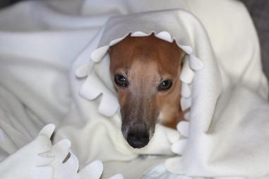 italian-greyhound-2865704_1280